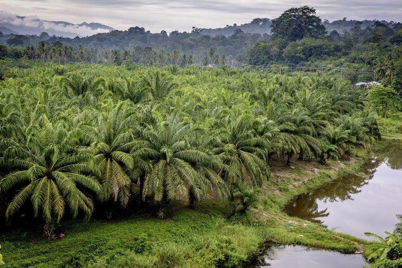 Oil Palm Sumatra