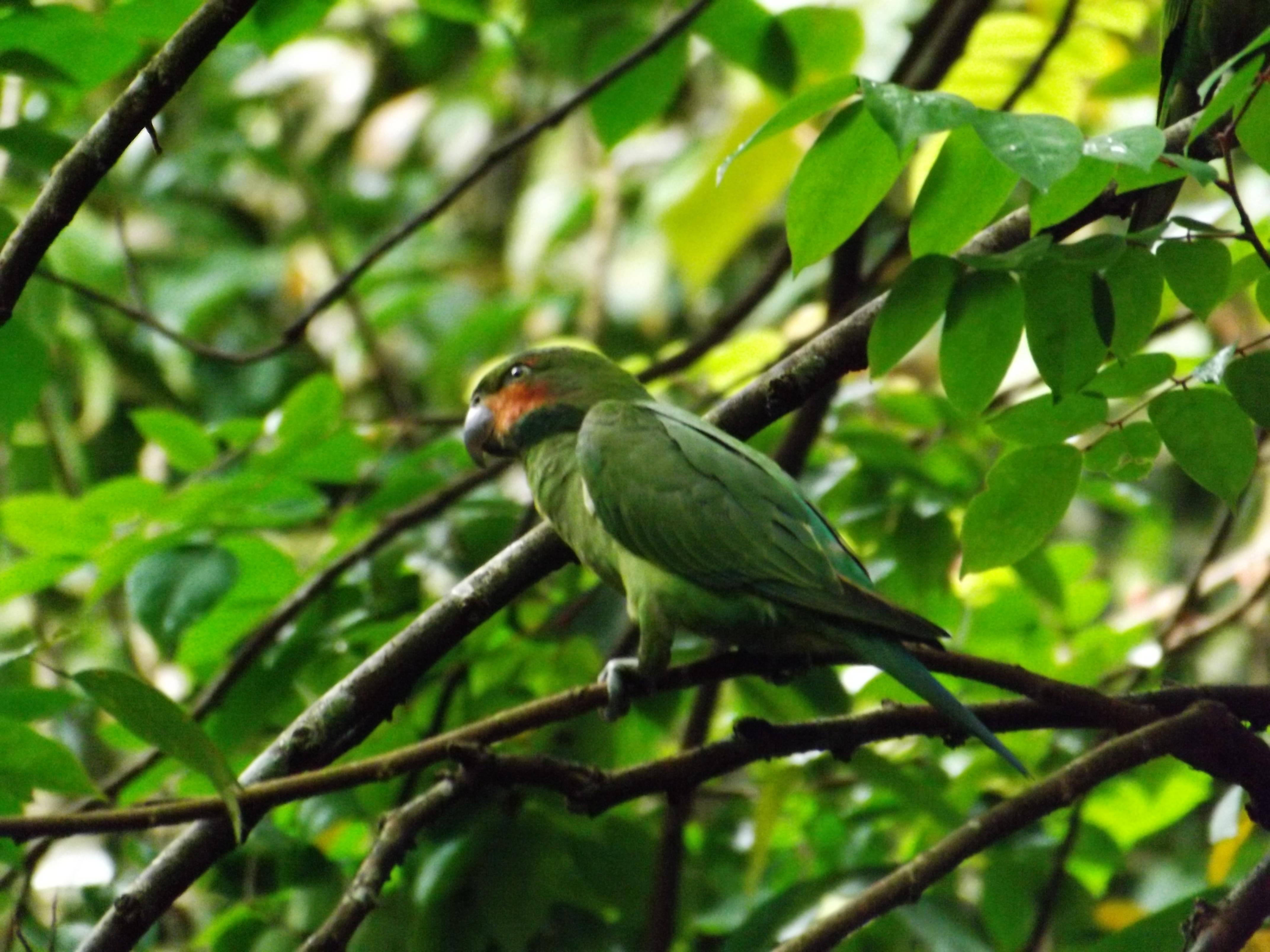Long Tailed Parakeet (5)