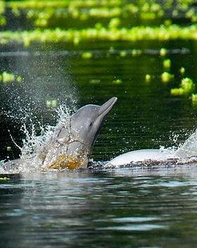 Dolphin, Pacaya_Samira, Amazon River_Per
