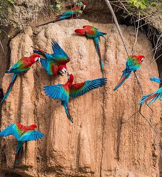 Macaws_Amazon_Madre de Dios Peru.jpg