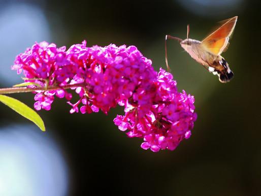 De vlinderstruik, een vergiftigd geschenk