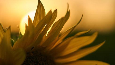 Sonnenblume_Detail.jpg