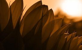 Sonnenblume_Blätter.jpg