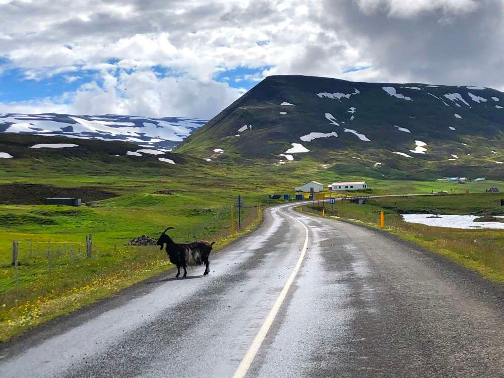 road trip, goat, iceland, mountains