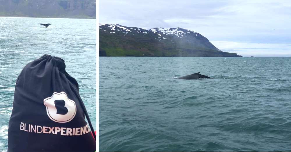 whales in Husavik, Iceland