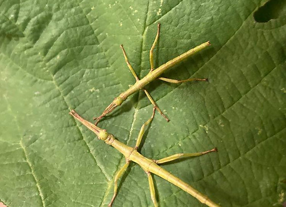 Diapherodes gigantea (Lime green Stick Insects) 5 x L2