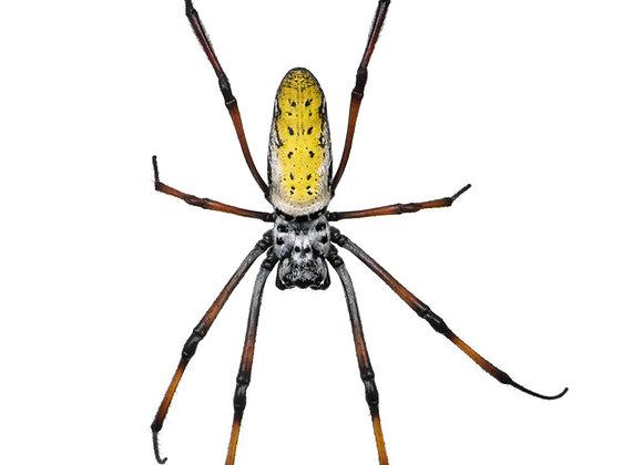 Nephila madagascariensis spiderlings 3-4cm leg span