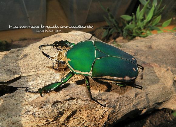 Mecynorrhina torquata immaculicollis 2nd Instar Larvae x 1