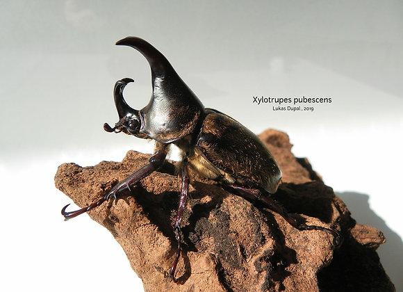 Xylotrupes pubescens 2nd instar larvae x1