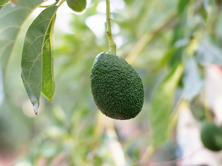 Avocados: Why Are They The Biggest Trend In Fruits?