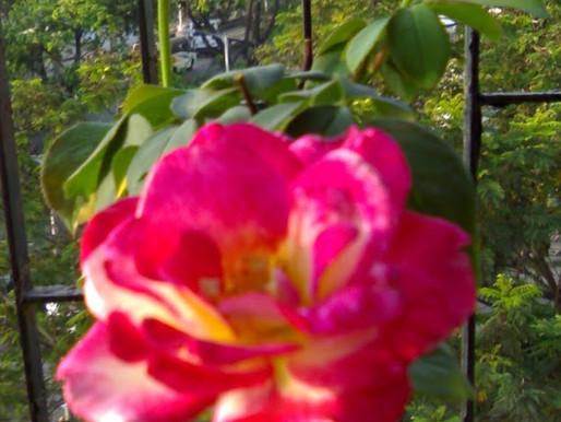 Hidden Roses (Monday Muse)