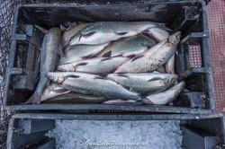 Lake Superior Whitefish