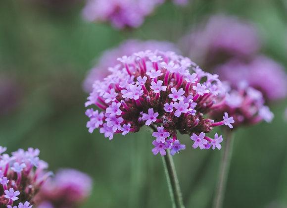 Verveine fleur ¤14