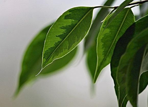 Ficus Benjamina Exotica 120cm
