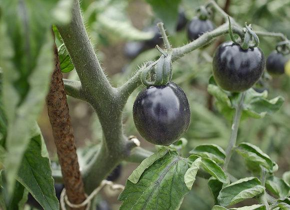 Tomate Noire de Crimée en godet