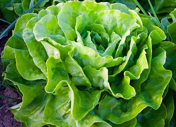 Salade en motte