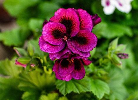 Pelargonium Zonale ¤17