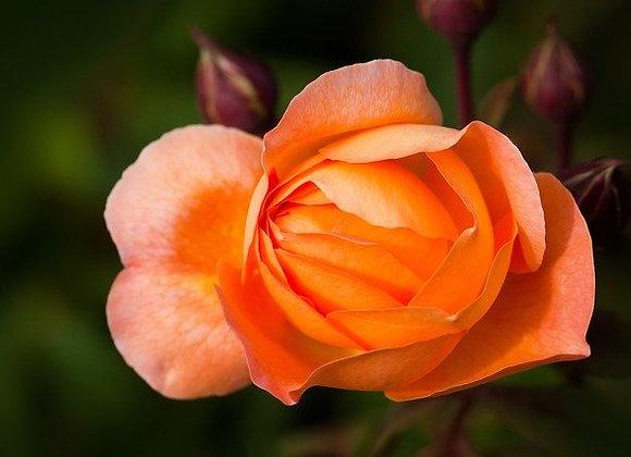 Rosier Buisson Grande Fleur