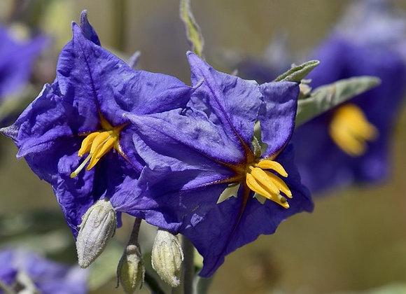 Solanum Rantonetti ¤30