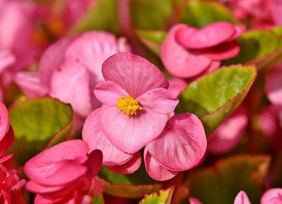 Begonia Godet Feuille Verte Blanc/Rose/Rouge