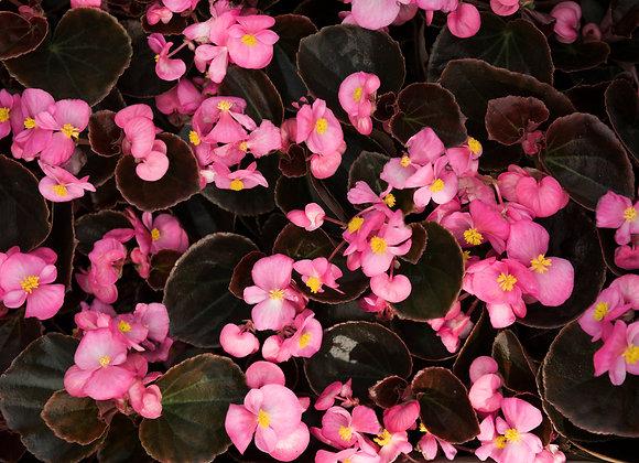 Begonia Godet Feuille Bronze Blanc/Rose/Rouge