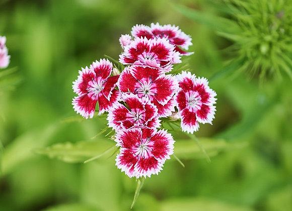 Dianthus I Love U ¤14