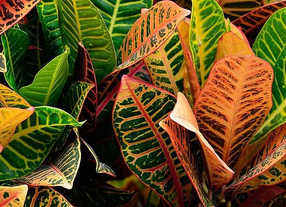 Croton ¤17