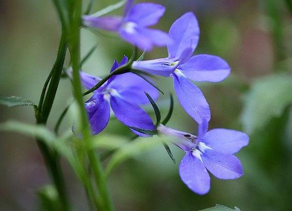 Lobelia Bleu Susp.¤25 Trio