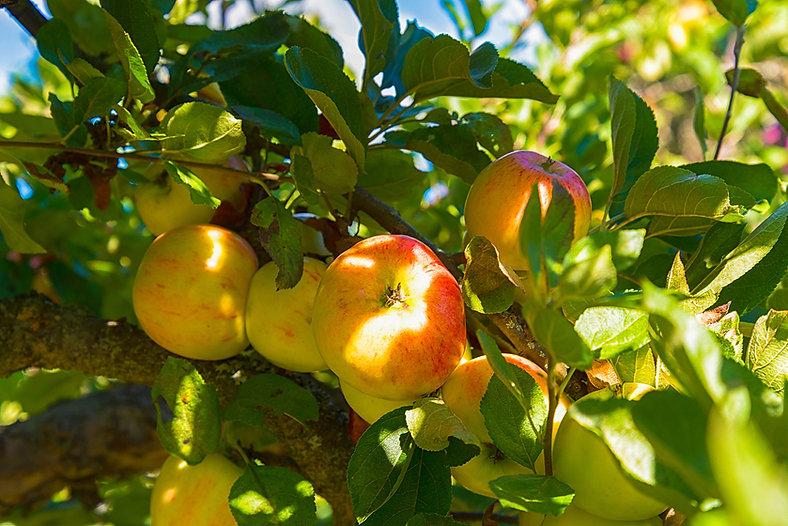 apples-apple-tree.jpg