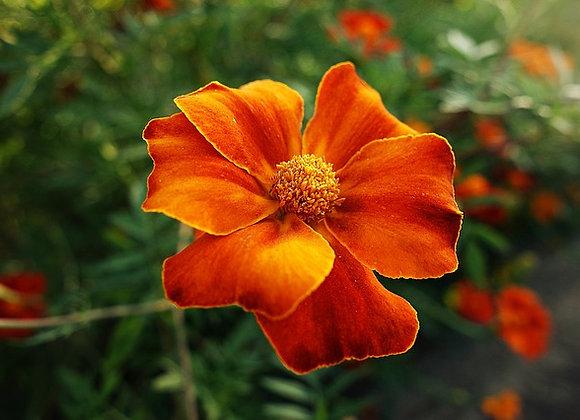 Oeillet d'Inde Brun/Jaune/Orange Godet