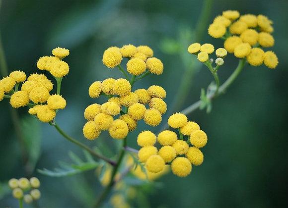 Hélichrysum italicum ¤18