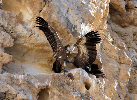 Israeli Army Drone saves Griffon Chick
