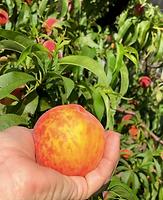The Peach Farm