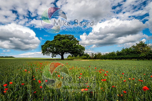 POPPY FIELD AND OAK TREE