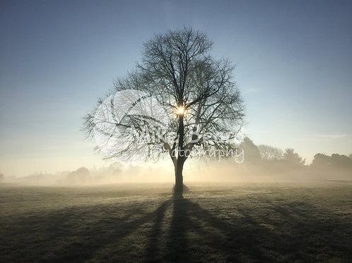 LIME TREE, WINTER
