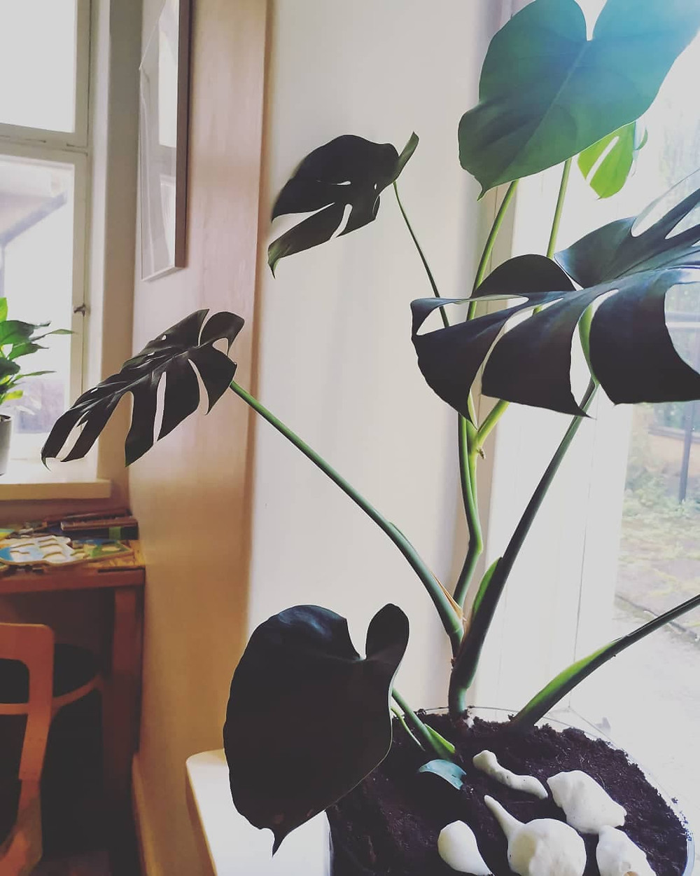 Peikonlehti, Monstera
