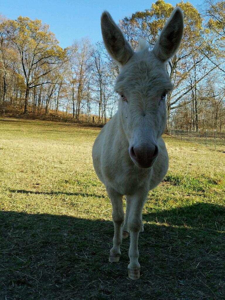 Mini Donkeys in Ohio | Sweetminijfarm