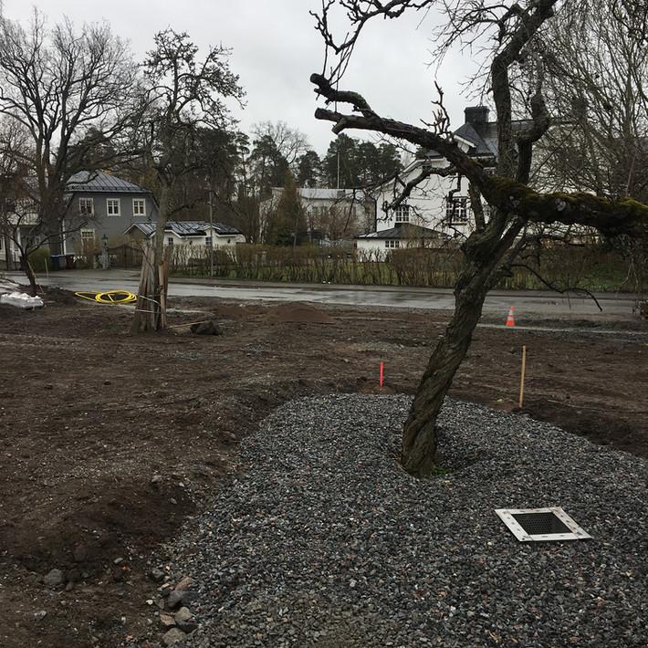 Här räddar vi gamla fruktträden genom att göra en skelettjord med luftbrunn, träden mår idag mycket bättre