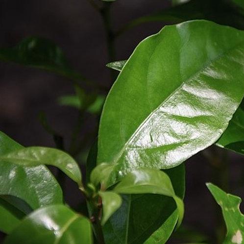 Ravintsara (Organic)