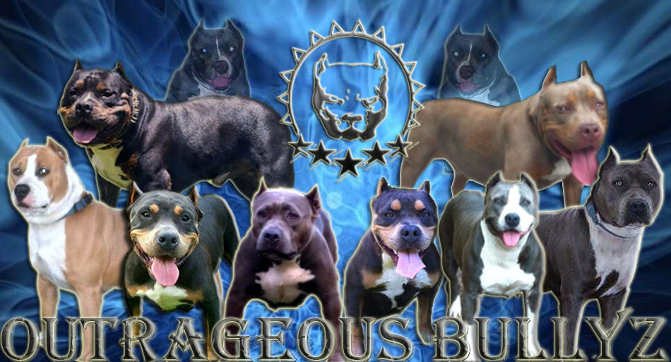 American bully, Pitbulls, Staffordshire Terrier, Purple Tri