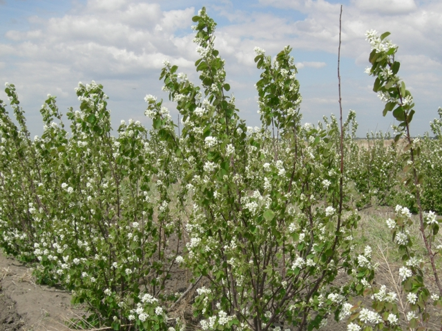 saskatoon_blossoms_2_crop 2