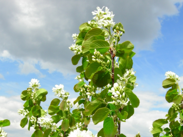 saskatoon_blossoms_1_crop
