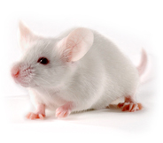 Mouse Model