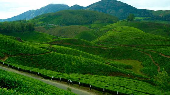 The Tea Estates of Devikulam