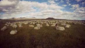 Na jeden deň islandským farmárom, why not?!