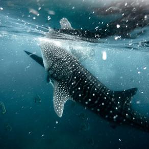 Whale sharks na Oslobe, môj najhorší zážitok z cestovania