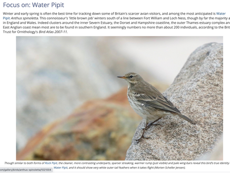 My Water Pipit species profile is now online and free to view
