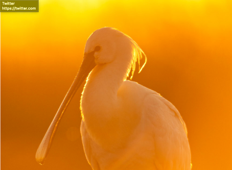 Banjo bill's return – my spoonbill piece is now available online
