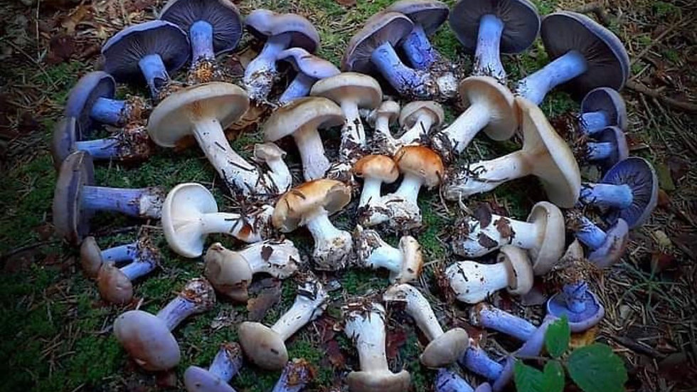 Asé Mushroom Tea Bag