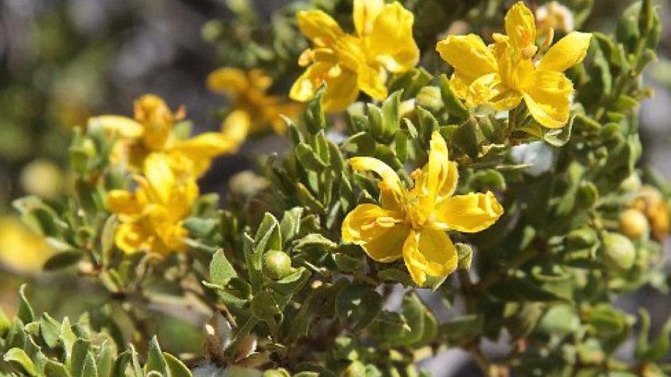 1oz Chaparral Herb